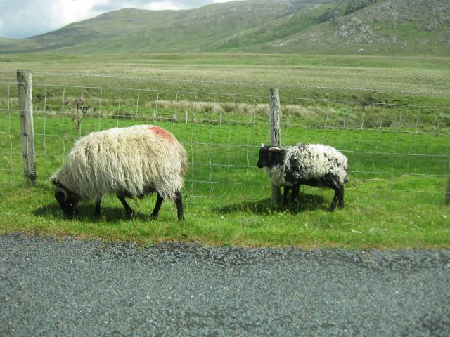 Irlanda - Connemara - Ovejas